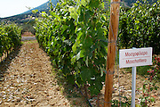 Vines. Moschofilero vine variety. Biblia Chora Winery, Kokkinohori, Kavala, Macedonia, Greece