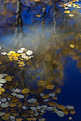Aspen reflections and autumn leaves floating in ephemeral pond, Vermejo Park Ranch, New Mexico, USA.