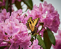 Tiger Swallowtail Butterfly feeding on Rhododendron flowers. Image taken with a Nikon Df camera and 70-300 mm lens (ISO 500, 300 mm, f/5.6, 1/1250 sec).