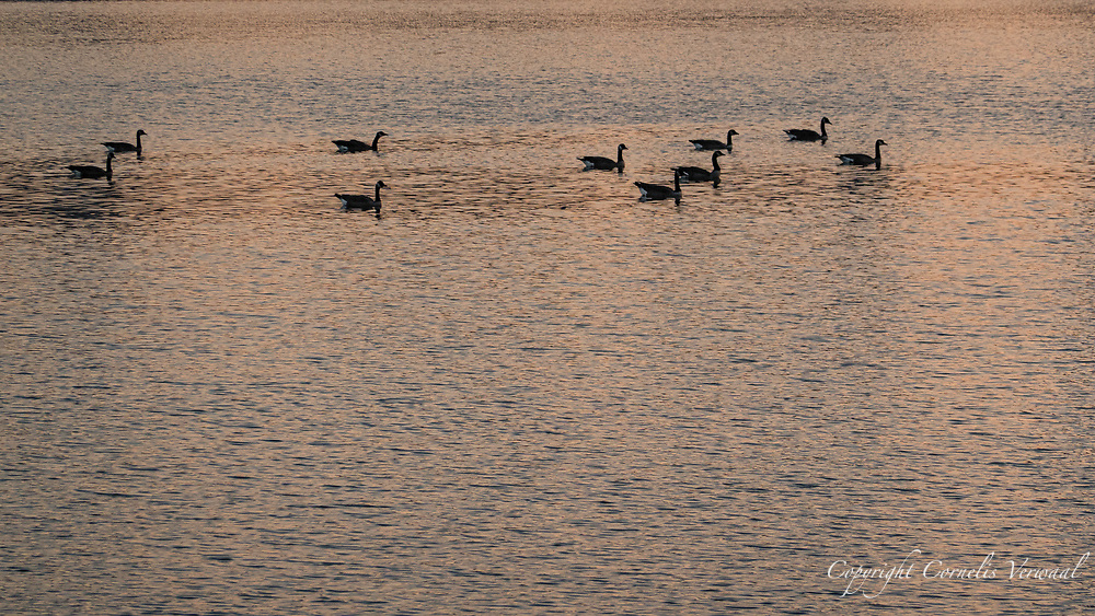 These Canada geese keep the proper social distance from each other on the Reservoir in Central Park during a dusk paddle.