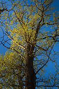 "Setting sun sets the evening mood in oak (Quercus robur) forest in spring, Nature reserve ""Barkavas ozolu audze"" (dabas liegums ""Barkavas ozolu audze""), Latvia Ⓒ Davis Ulands   davisulands.com"