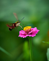 Hummingbird Clearwing moth feeding on Zinnia flower. Image taken with a Nikon D850 camera and 100-500 mm f/5.6 VR lens