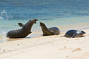 Hawaiian monk seals, Neomonachus schauinslandi ( Critically Endangered endemic species ), mother fights off an aggressive male (left) that attacked her five and a half week old pup; Papaloa Beach, Kalaupapa, Molokai, Hawaii, USA