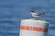 Common tern, with black-tip on bill found during breeding season, North America