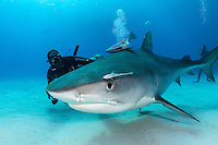 Tiger Shark and Diver<br /> <br /> Shot in Bahamas