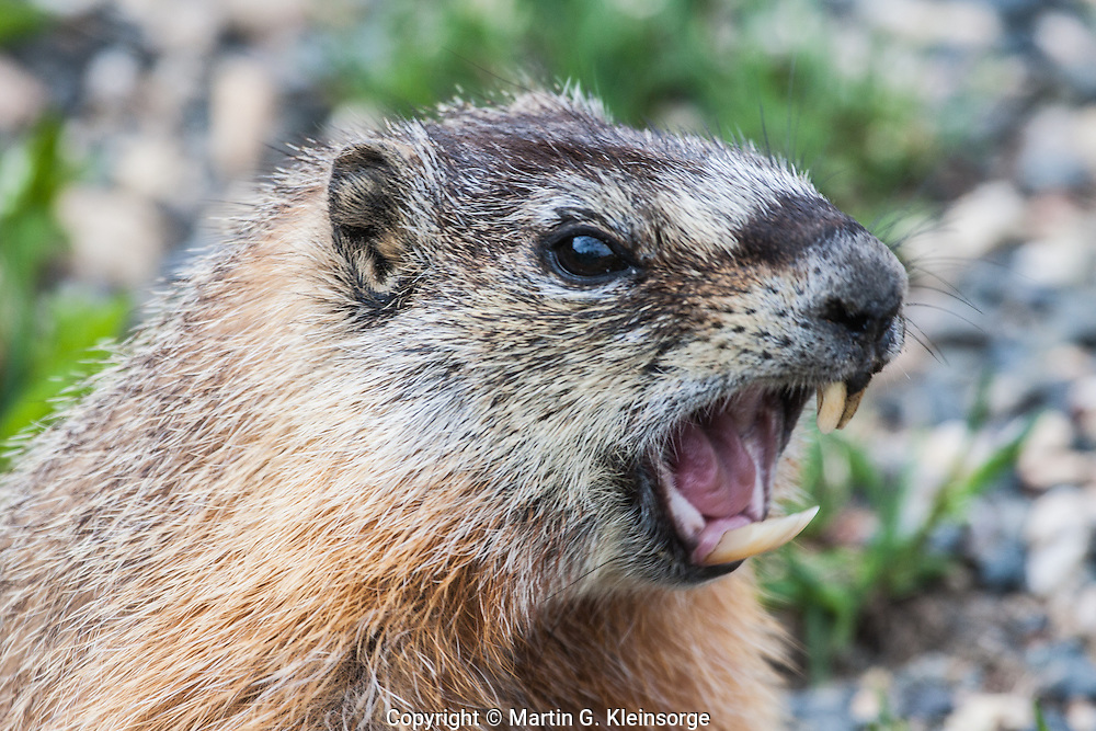 Yellow-bellied Marmot (Manota flaviventris) thrives on the alpine tundra.  This marmot barks at a hiker to warn other marmots of the intruder.  Snowy Range Mountains, Wyoming,