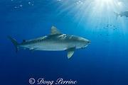 tiger shark ( Galeocerdo cuvier ) North Shore, Oahu, Hawaii, USA ( Central Pacific Ocean )