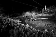 Tasmanian devils cover an average of 8 kilometres during the night hunting for food, some individuals have been observed to travel 50 kilometres in a night. This old coastal trail double as a wildlife highway during the night. Devil photographed with infra-red camera trap walking under a fence.