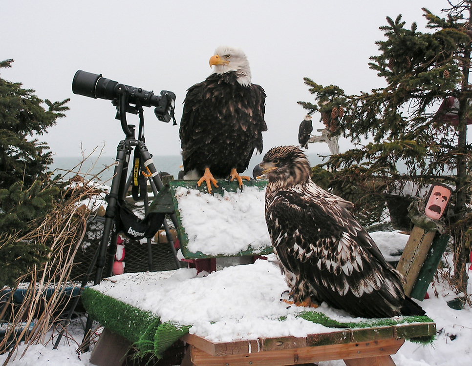 (Haliaeetus leucocephalus)An adult and young eagle posed as if they were the photographers going to take a picture of the tourists with their Nikon Camera on a Bogen tripod on the Homer Spit in Homer, Alaska
