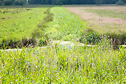 Different shades of green as reeds fill drainage ditch in drained marshland, Beccles, Suffolk, England