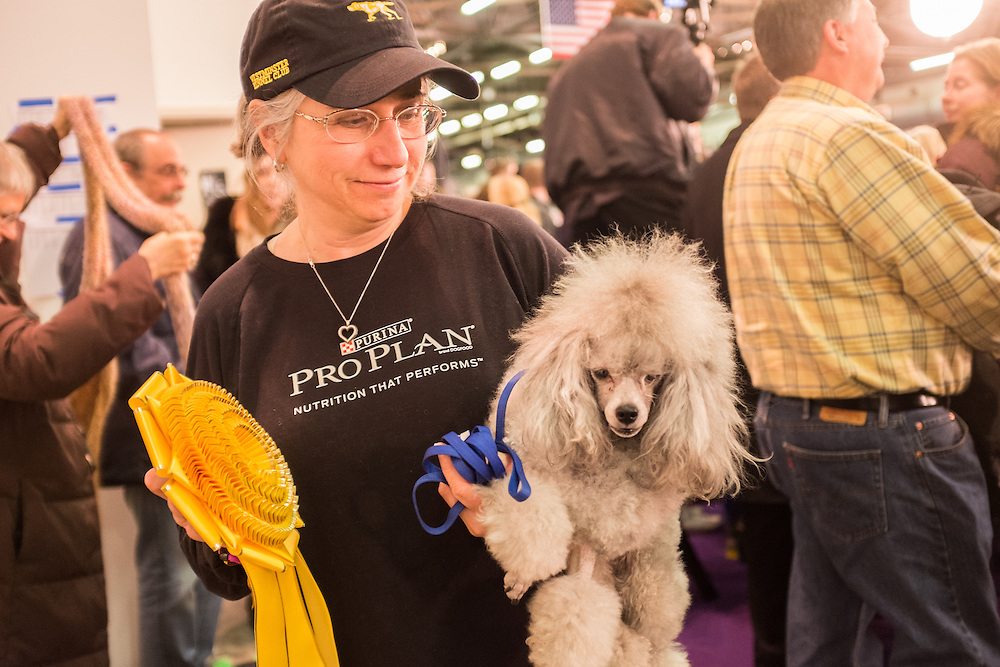 New York, NY - 8 February 2014. A poodle and its owner claim a yellow ribbon at the agility trials at the Westminster Kennel Club dog show.