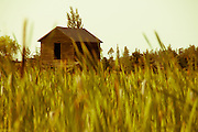 Abandoned wood barn in a field of grass and cattails
