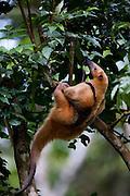 Parauapebas_PA, Brasil...Tamandua-mirim (Tamandua tetradactyla) em tronco de arvore na Floresta Nacional de Carajas, Para...Anteater (Tamandua tetradactyla) on tree trunk in the National Forest Carajas, Para...Foto: JOAO MARCOS ROSA / NITRO