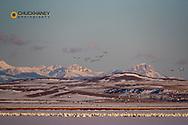 Snow geese take flight during spring migration at Freezeout Lake WMA near Choteau, Montana, USA