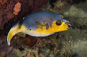 Blackspotted Pufferfish (Arothron nigropunctatus)<br /> Cenderawasih Bay<br /> West Papua<br /> Indonesia