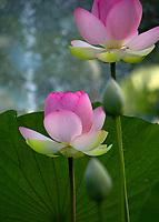 Lotus Blossoms  Irmo, South Carolina  photo by catherine brown