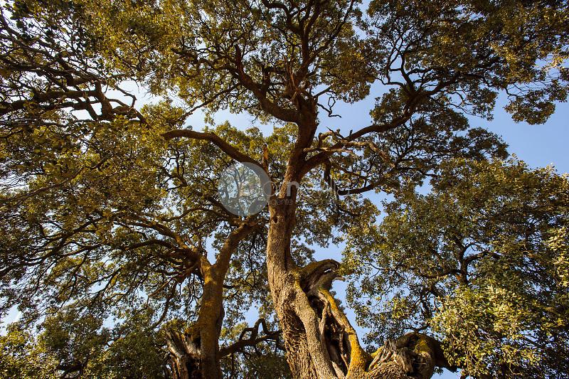 Encina centenaria (Quercus ilex). . Almansa. Albacete ©ANTONIO REAL HURTADO / PILAR REVILLA