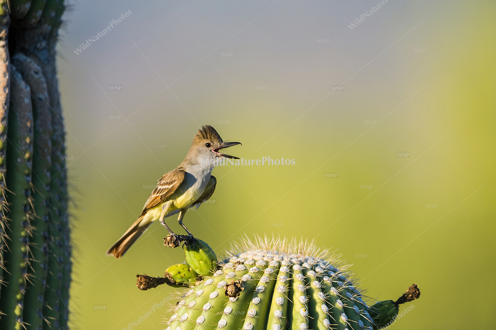 A Brown-crested Flycatcher (Myiarchus tyrannulus) calls from his perch near its nest in a Saguaro cactus (Arizona)