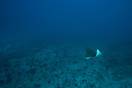 Spotted Eagle Ray, Aetobatus narinari, (Euphrasén, 1790), Molokai Hawaii
