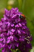 Pyramid Orchid, Anacamptis pyramidalis, Lullingstone Country Park, Kent UK, with ladybird on flowerhead