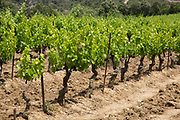 Vineyards in the South of France at Mayronnes, Languedoc-Roussillon, France. This is at the heart of wine production in the region with almost every hillside covered with lines of vines.