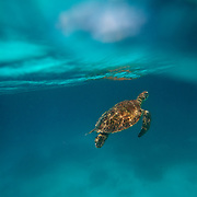 A split level view of a Sea Turtle swimming underwater near Lady Elliot Island, the southern-most coral cay of the Great Barrier Reef, Australia. The Great Barrier Reef is one of the most important sea turtle habitats in the world, with Lady Elliot Island being a key part of that habitat.The island is located within the Great Barrier Reef Marine Park and is teeming with live corals and sea-life, including rays, turtles, fish and birds.