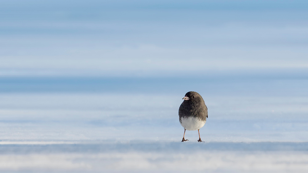A lonely Dark-eyed Junco Forages For Food In The Snow