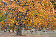 Autumn Garry Oak, (Quercus garryana), forest on the rim of the Klickitat Canyon near Glenwood, Klickitat County, WA, USA