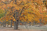 Autumn Garry Oak, (Quercus garryana), forest on the rim of the Klickitat Canyon near Glenwood, Klickitat County, WA, USA