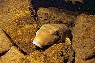 Northern Hogsucker, Underwater