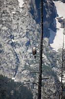 Bald Eagle Jackson Lake in Grand Teton National Park, WY.