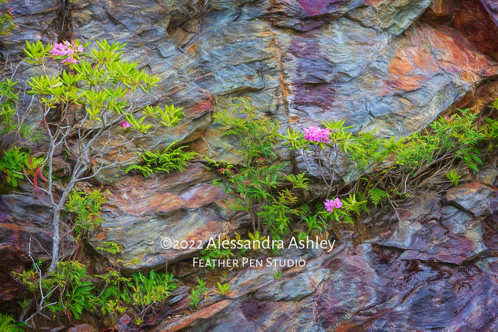 Catawba rhododendron and ferns growing in the wild on mountainside's colorful rocks.  Blue Ridge Parkway, Asheville, North Carolina. Painterly effects blended with original photograph.