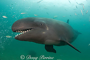false killer whale ( Pseudorca crassidens ) with mouth open, showing large conical teeth  (c,dm)