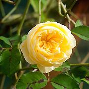 Blooming Yellow English Rose