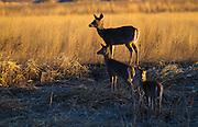 Whitetail Deer, Montana