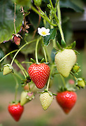 Strawberries ripe and unripe together growing on a strawberry bush