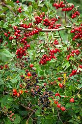 Autumnal hedgerow berries. Rubus fruticosus agg - Blackberries, Crataegus monogyna - Common hawthorn and Rosa rubiginosa syn. Rosa eglanteria - Sweet briar rose