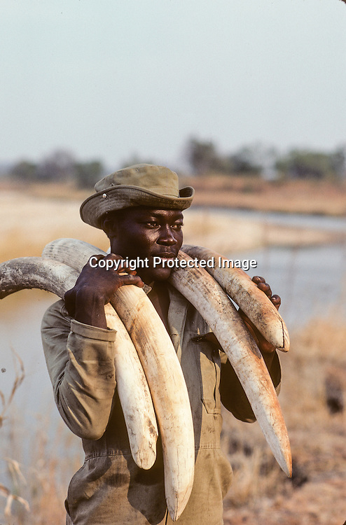 A ranger in North Luangwa National Park, Zambia with elephant ivory sonficated from poachers.