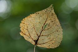 Populus spec. populieren blad, leave