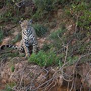 Jaguar, Pantanal, Brazil.