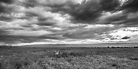 Zebra on the plains as a storm approaches, Lake Nakuru, Kenya.