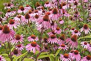 Garden bed of beautiful echinacea_purpura flowers.  Freeway 94 Wisconsin Dells USA