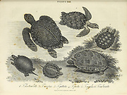 Testudo [tortoise] various species of tortoises Copperplate engraving From the Encyclopaedia Londinensis or, Universal dictionary of arts, sciences, and literature; Volume XXIII;  Edited by Wilkes, John. Published in London in 1828