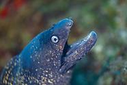 Mediterranean moray eel (Muraena helena)