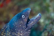 Mediterranean moray eel-Murène commune (Muraena helena) of Mediterranean sea.