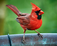 Northern Cardinal. Image taken with a Nikon D5 camera and 600 mm f/4 VR lens (ISO 1600, 600 mm, f/5.6, 1/250 sec).