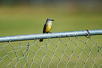 Tropical Kingbird (Tyrannus melancholicus) perched on a fence, Lake Chapala, Jocotopec, Jalisco, Mexico