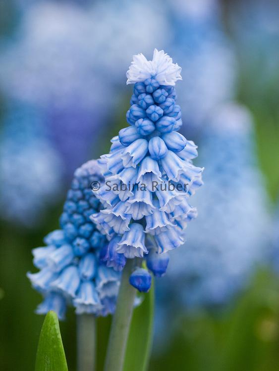 Muscari azureum - azure grape hyacinth