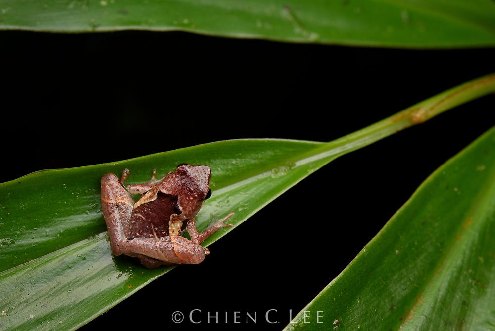 A confusing array of small Microhylid frogs occur in Borneo and it is likely that many cryptic species such as this one (Nanohyla cf. perparva) await distinction. Sarawak, Malaysia (Borneo).