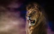 Big lion close-up shot in Serengeti, Tanzani